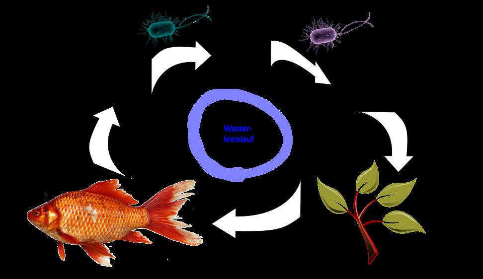 Aquaponic - Nitrifikation